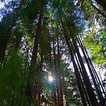 Tall trees (Douglas Fir) press up against the Pacific Ocean