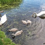 The Swan Family in the beautiful lake at Mount Stewart
