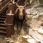 this moose ate so much he is......stuffed