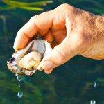 Pambula Oysters