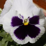 Pansy's in the window boxes of surrounding buildings