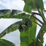 Banana tree's