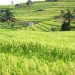 Jatiliwah rice terraces