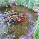 Beautiful koi pond in the courtyard with waterfall
