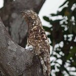 Great Potoo with chick (from Riverboat Francesca)