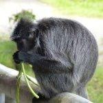 Yummy green beans for the silver leaf monkeys