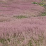 The purple grass of Easter Island seen at Orong