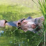 sleepy, sleepy hippo