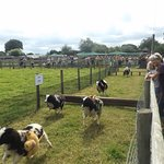 The Grand Sheep Race over hurdles