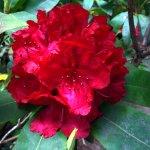 Rhododendren Blossom At Milner Gardens