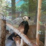 Giant Panda taking a nap,,,