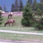 Elk on side of road opposite Marmot Lodge