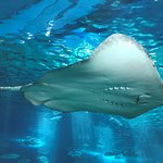 Ah... such beatiful sight of stingray at the Tunnel