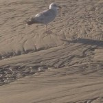 a seagull waiting for food. Too bad they can't eat the clams from Mo's. But we can!