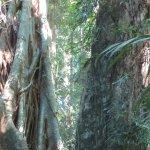 Huge trees in rainforest