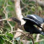 Cano Negro Wildlife Refuge-billede