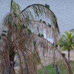 Rainbow lorikeets -tree on Esplanade