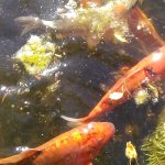 Some of the smaller koi in the pond.  There are many larger and they come in all color combos!