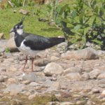 A Northern Lapwing with his crest raised