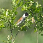 A Reed Bunting near one of the ponds