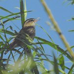 A Reed Warbler singing