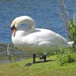 one of the resident swans
