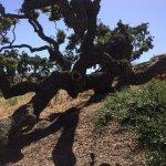 Wind blown Oak tree at Pence
