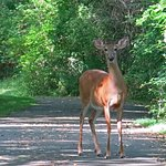 A female white-tailed deer greeted us on our walk on the Allegheny River Valley Trail!