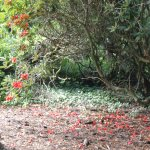 Rhodedendrons are out