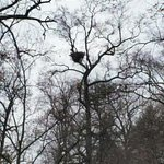 Bald eagle nest high up in a tree in the azalea garden. Winter time!