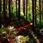 the trail winding through the redwoods