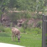 Mule deer on the property