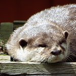 otter having a nap