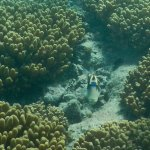 Picasso Triggerfish Staring at me!  :-)