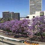 Ubiquitous purple blooming jacaranda trees; view from Walt Disney Performing Arts Ctr near Kawad