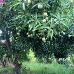 Fresh mangos from our tree to accompany a meal or for a quick snack!