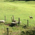 également des moutons