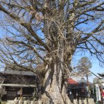 Huge gingko tree