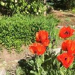 Poppies from Yin-Yang at Yampa Botanic Garden
