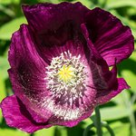 Lovely purple poppy in the formal garden