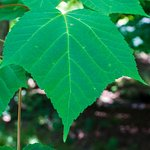 Leaf from a White Tigress Maple