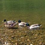Ducks in the riber