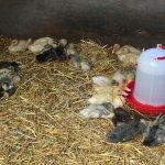 Godstone Farm - ducks