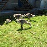 Godstone Farm - geese