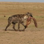 spotted hyena with a scavenged meal
