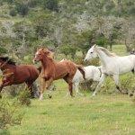 tropilla caballos árabes
