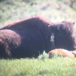 Bison cow and baby