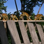 Squirrel Monkeys at Daybreak