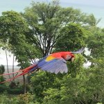 Scarlet Macaw coming to lodge for Breakfast