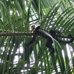 Another Capuchin chilling along beach below lodge